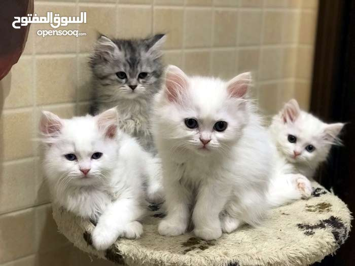 قطط للبيع إناث مأخذين تطعيم ومتعوضن علي لتر بوكس واكل وعمرهم 65 يوم