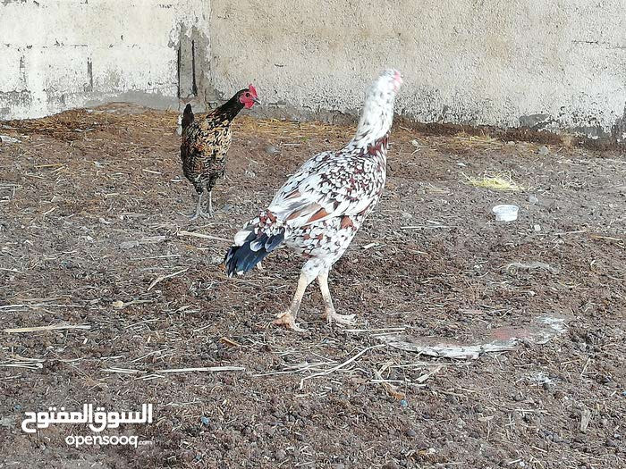 دجاجه باكستانية