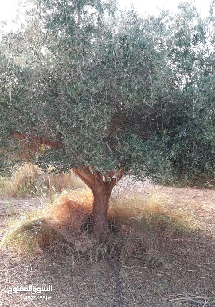 بيع الاشجار الزيتون حسب الطلب