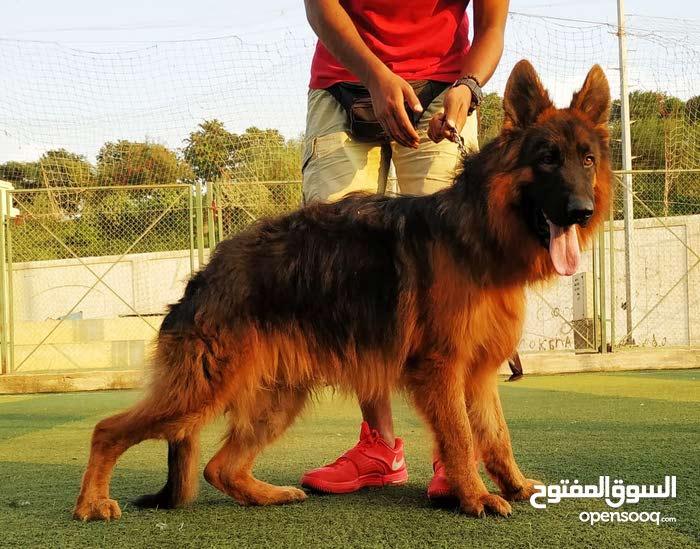 كلاب من مصر لتونس جاهزين للشحن