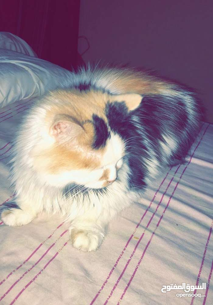 350+350 Persian cats