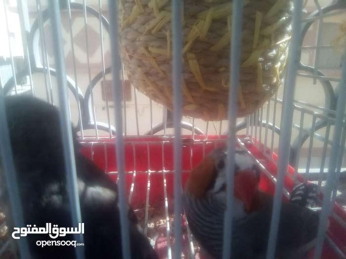 طيور الزيبرا بحاله جيده للبيع