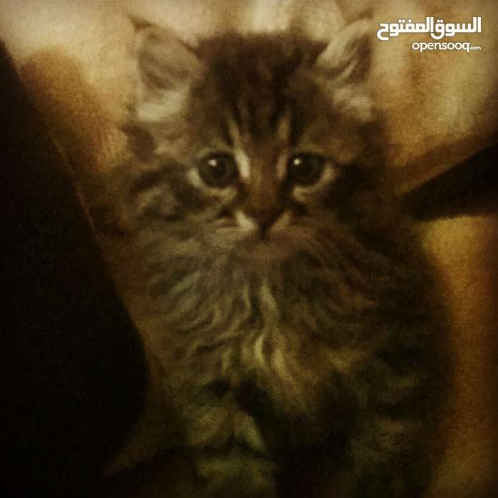 قط صغير شيرازي