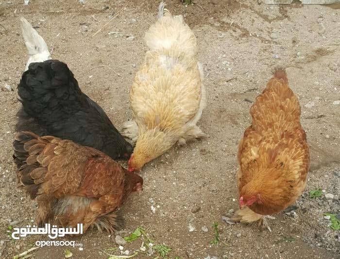 دجاج برهامه امريكي