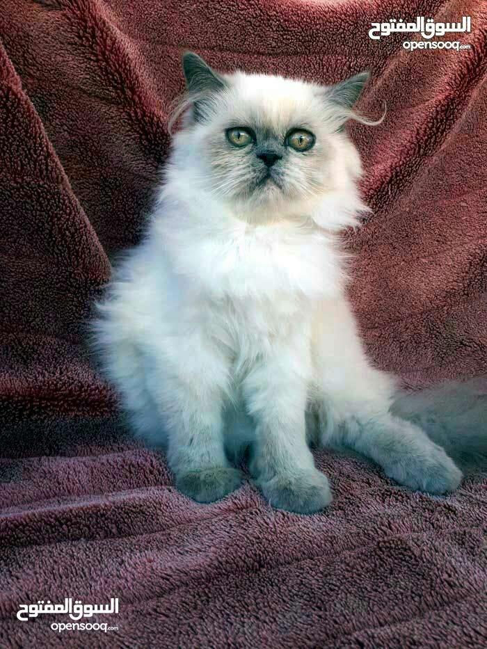 قطه أنثى بلو بوينت للبيع
