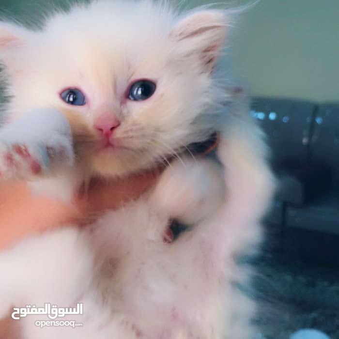 cat for sale  قط شيرازي للبيع