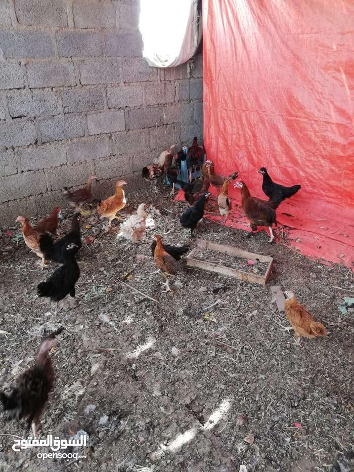 دجاج اعمار مختلفه