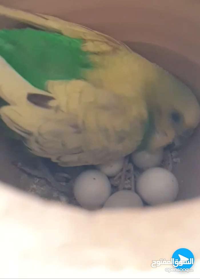 طيور بادجي منتج