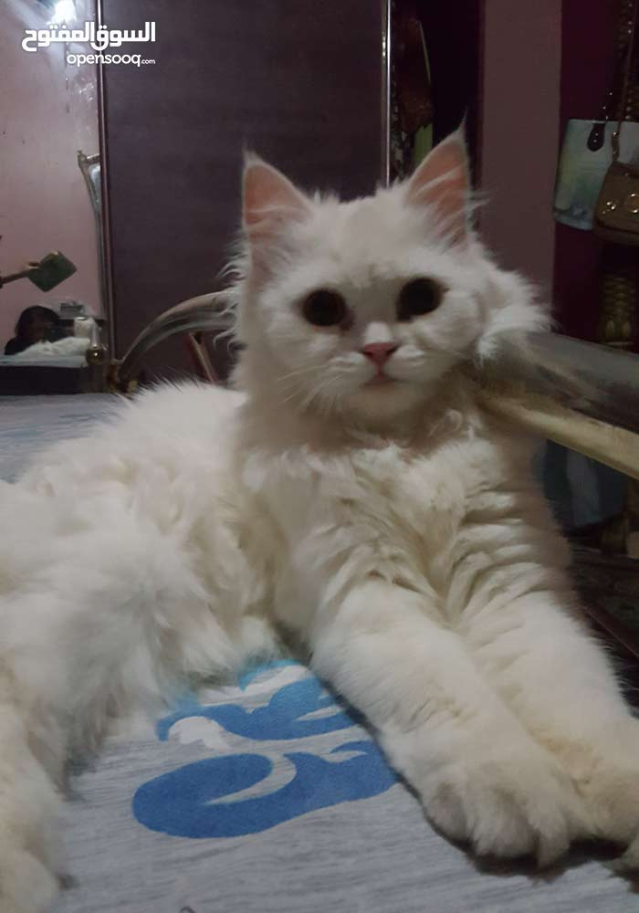 Persian cat a perfect pet for pet lovers.