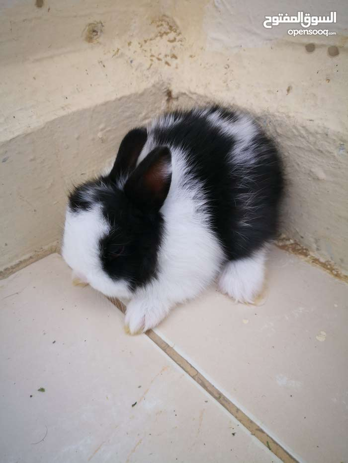 Netherland dwarf and lionhead dwarf rabbit