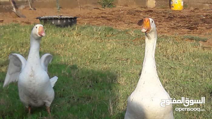 زوج  وز مورتن ابيض  للبيع ع وشك البيض