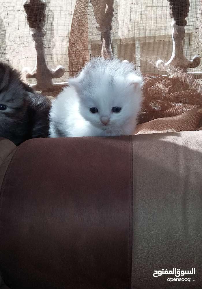 قطه للببع