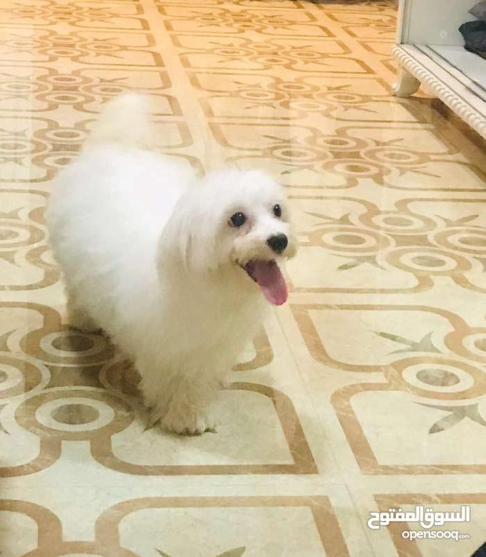 كلبة مالتيز للبيع - Female Maltese