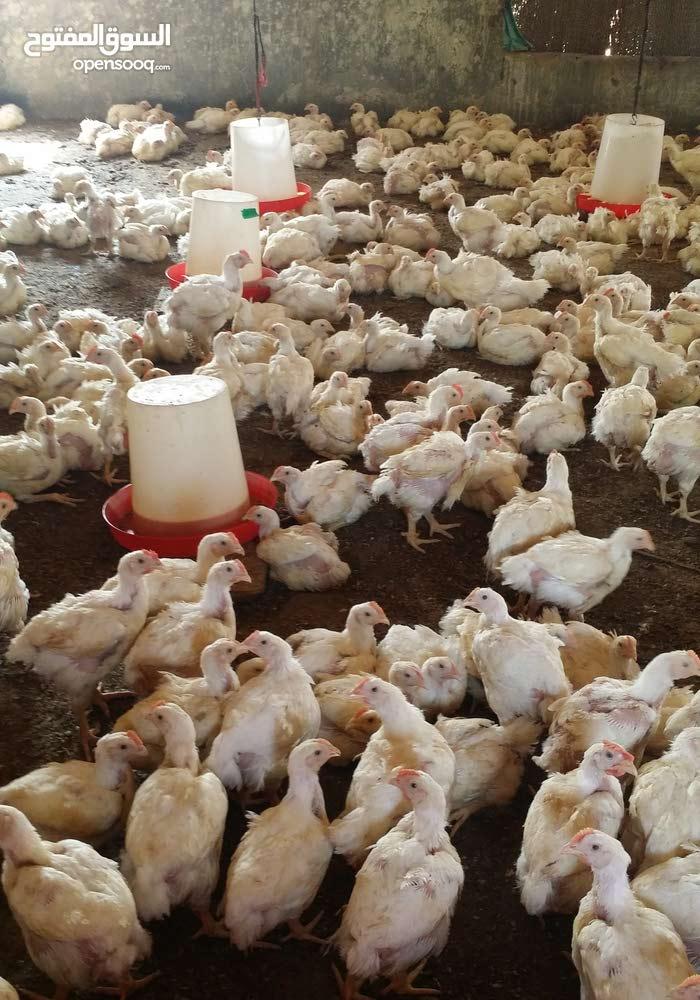 يوجد لدينا دجاج لاحم الهندي الممتاز  الوزن الصافي 900 جرام إلى 1000 جرام  الكميه