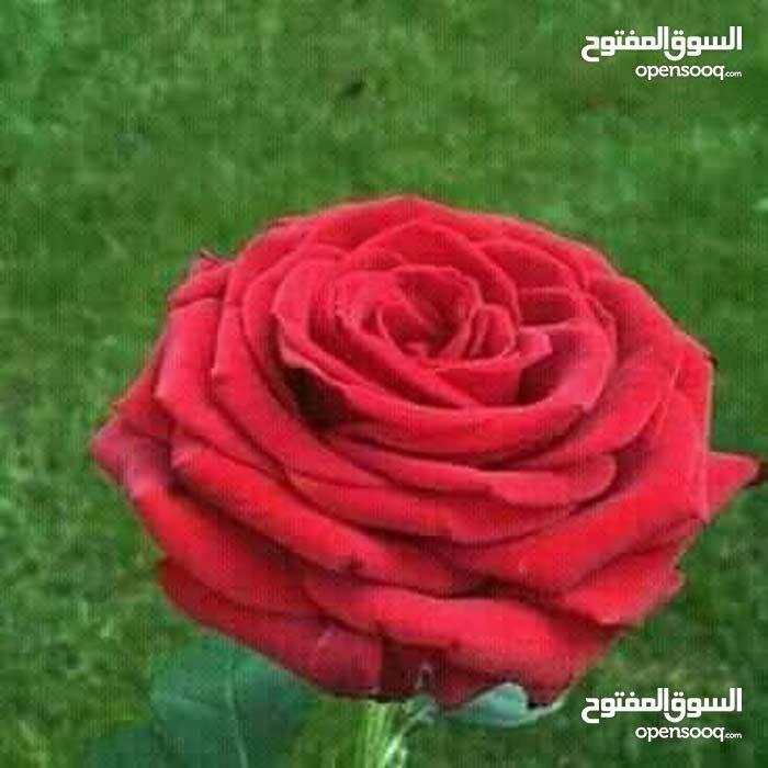 البصرة/ المعقل