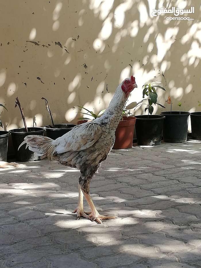 ديك ودجاج باكستانيات