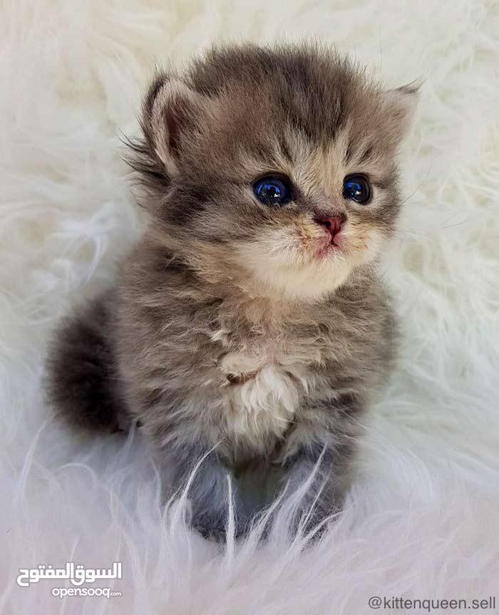 قطط شانشيلا سيلفر بلاك مميزة و مستويات عالية للبيع