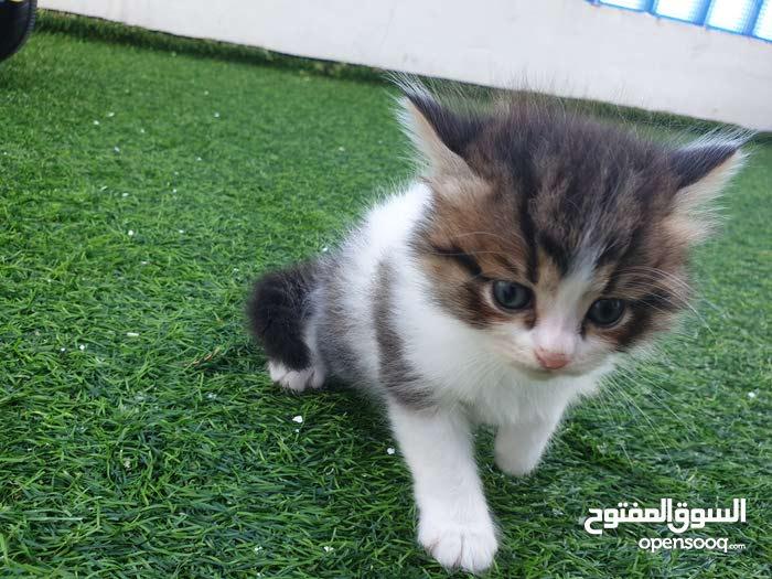 مجموعه قطط عمرها شهر ونص شيرازيه  مون فيس  لعوبين ومتعلمين ع التربوكس