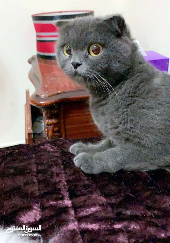 قطه سكوتش فولد بيور للبيع