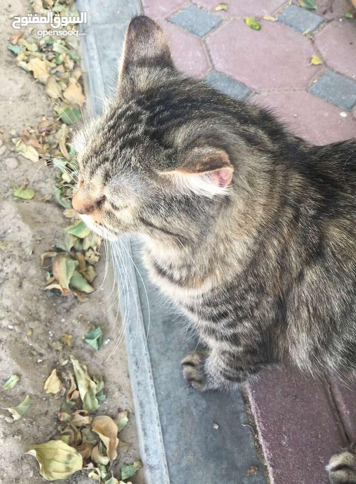 قطه وقط شيرازي مع قط بلدي