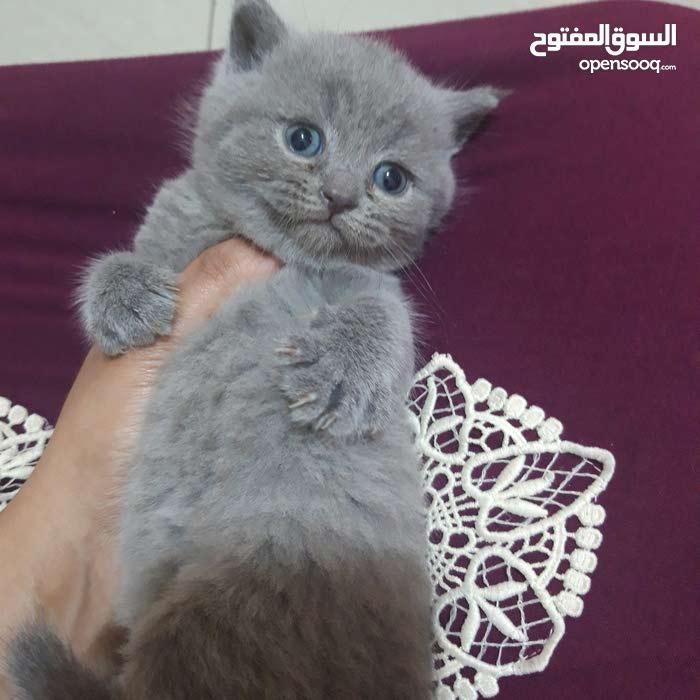 british short hair blue kitten for sale!