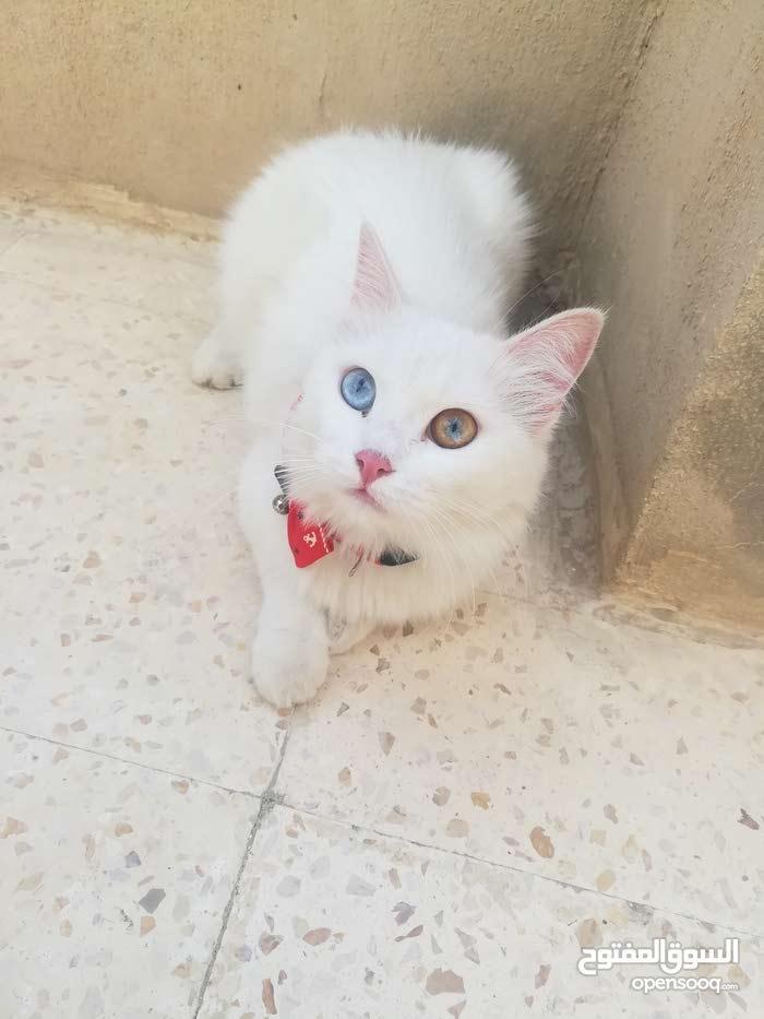 قطة شيرازي للبيع