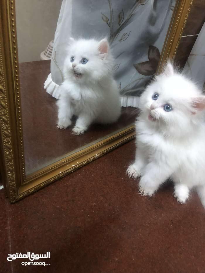 قطه بيكي فيس شيرازيه