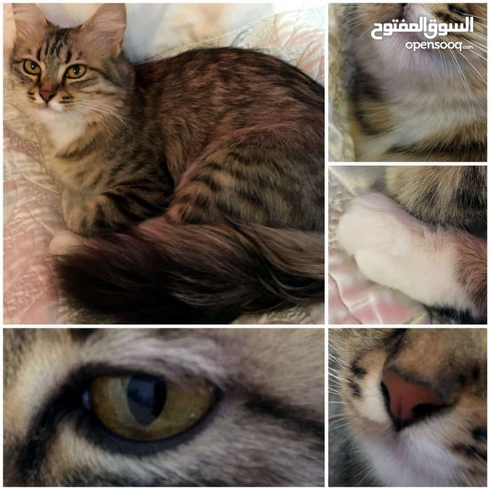 قطه انثى نوع سيبيري (روسي) العمر9 شهور