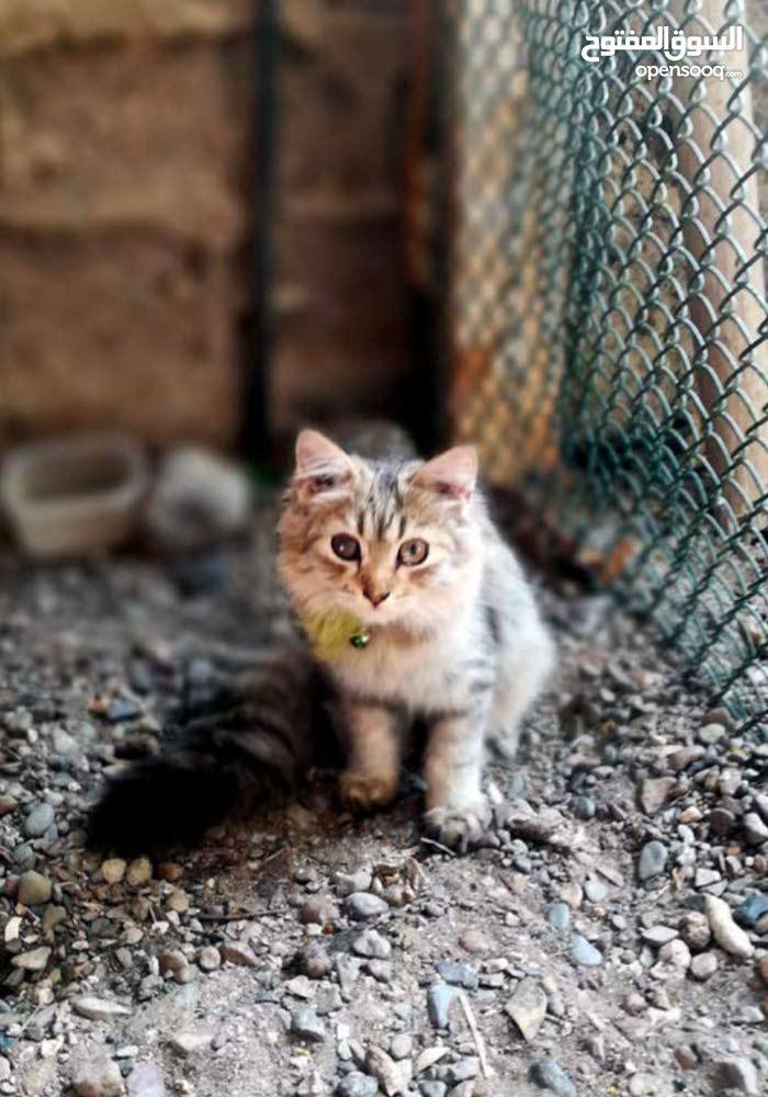 قطه للبيع شيرازي مميزه تحب اللعب