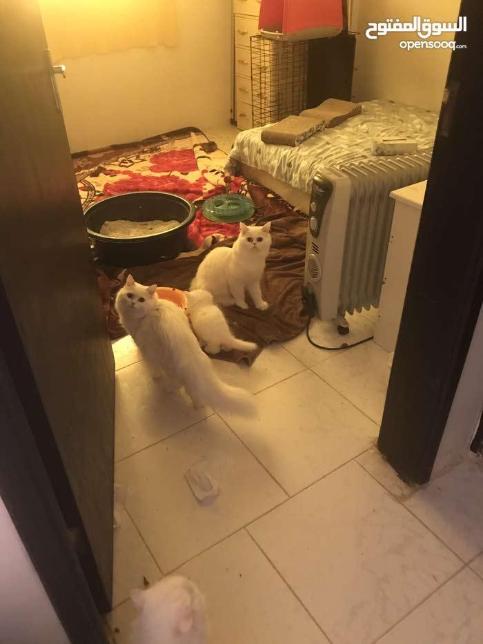 للبيع قطط شيرازي عمر شهر ونصف وشهرين وعمر سنة لدواعي السفر