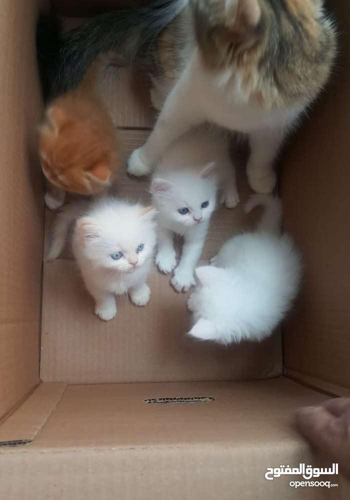 للبيع قطط شيرازيه