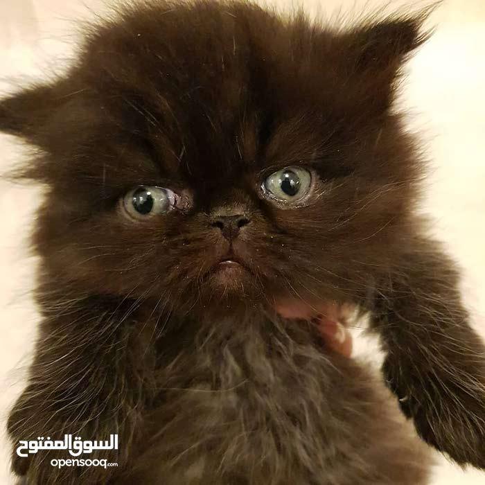 قطة سودا شيرازي بكي فيس للبيع