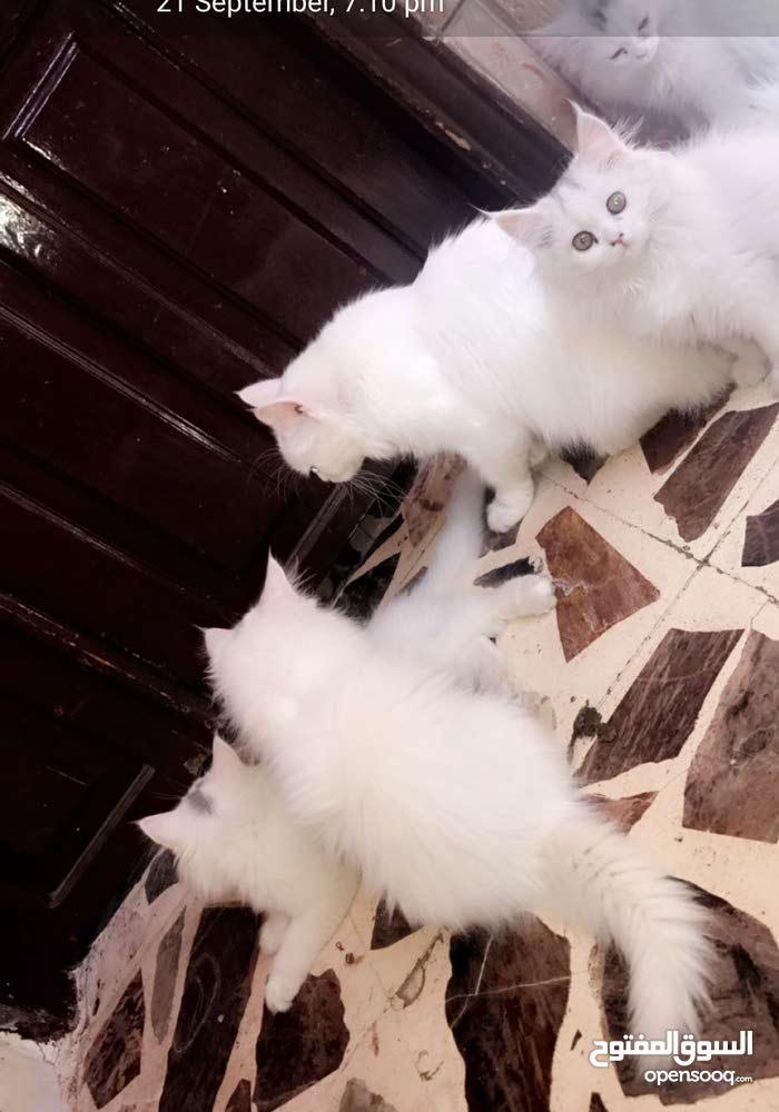 قطط شيرازي ابيض للبيع