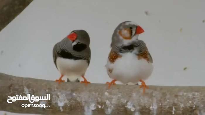 عصافير فنك للبيع
