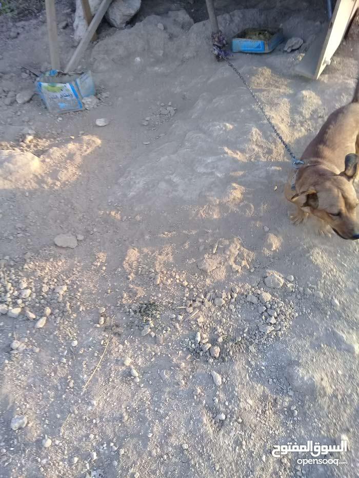كلاب نوع صوصج العمر 9 اشهر