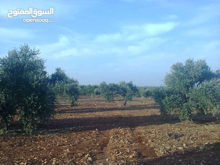 مزرعة زيتون بلدي للبيع ضمن اراضي سما