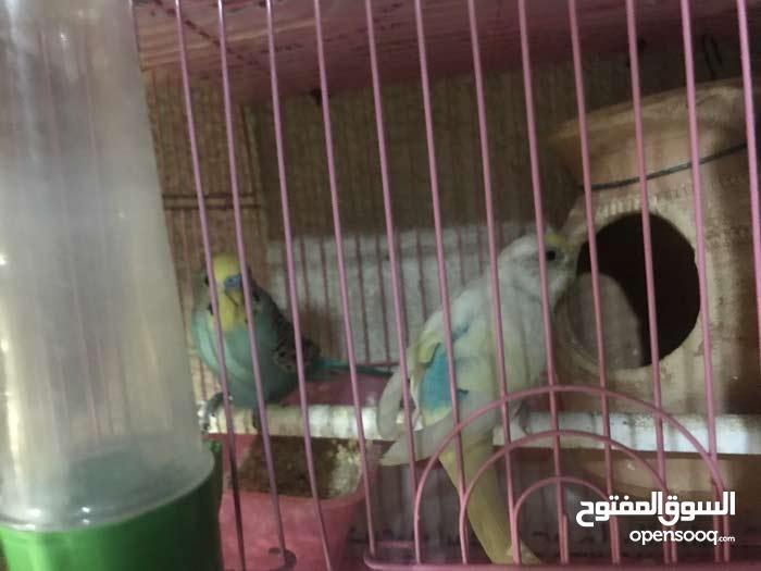 طيور بادجي و هولندي و رينبو منتجين