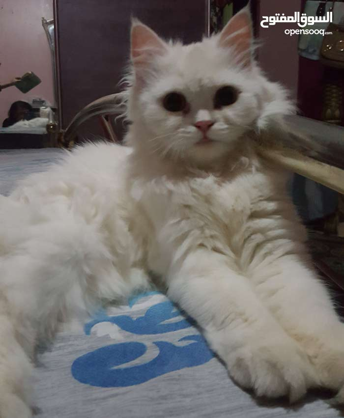 Persian Cat very loving and trainined in need for loving and caring house