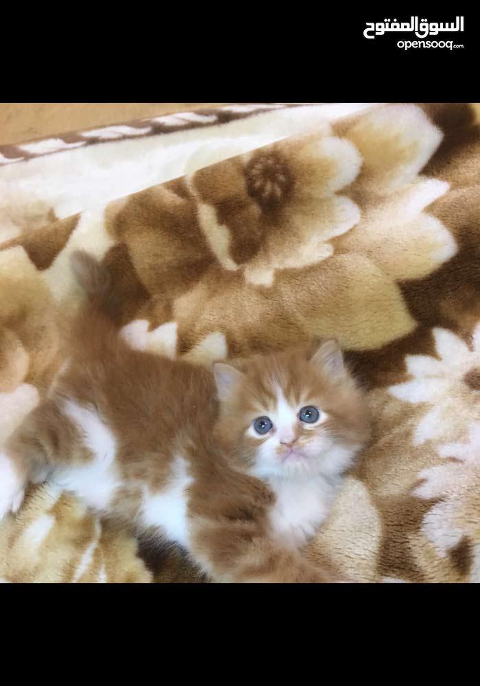 احلى قطة شيرازى