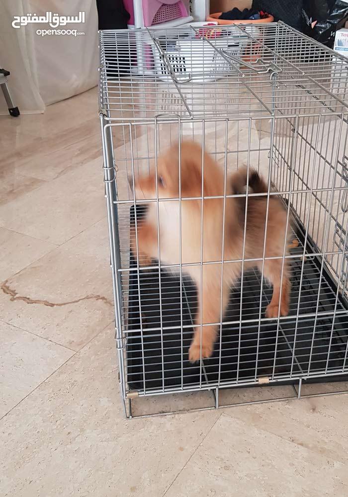 كلب بومارنيني اتصل واعرف السعر