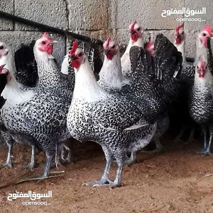 صيصان دجاج الفيومي