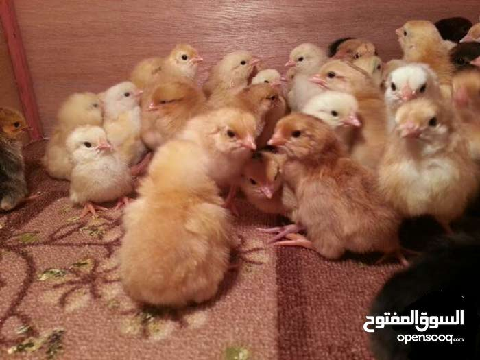 بيض دجاج هندي مخصب نسبة التخصيب فوق 90%حوارة مادبا