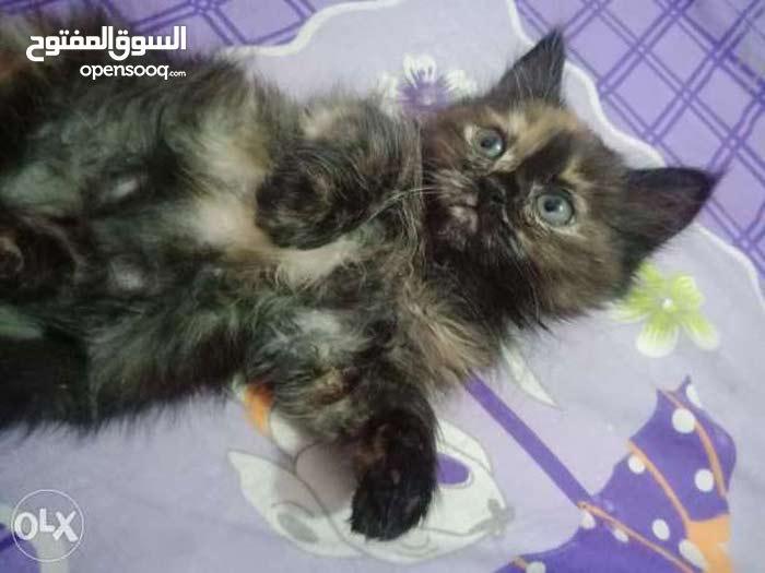 قطط شيرازي تورتيلا جمال خرافي