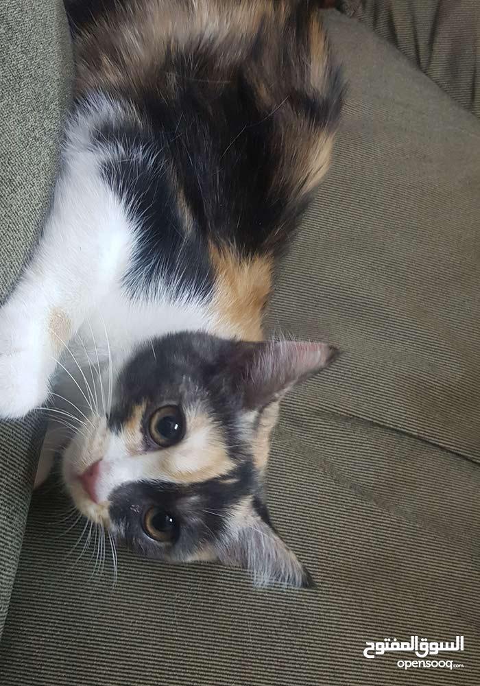 قطط شيرازية عمر ثلاث شهور للبيع
