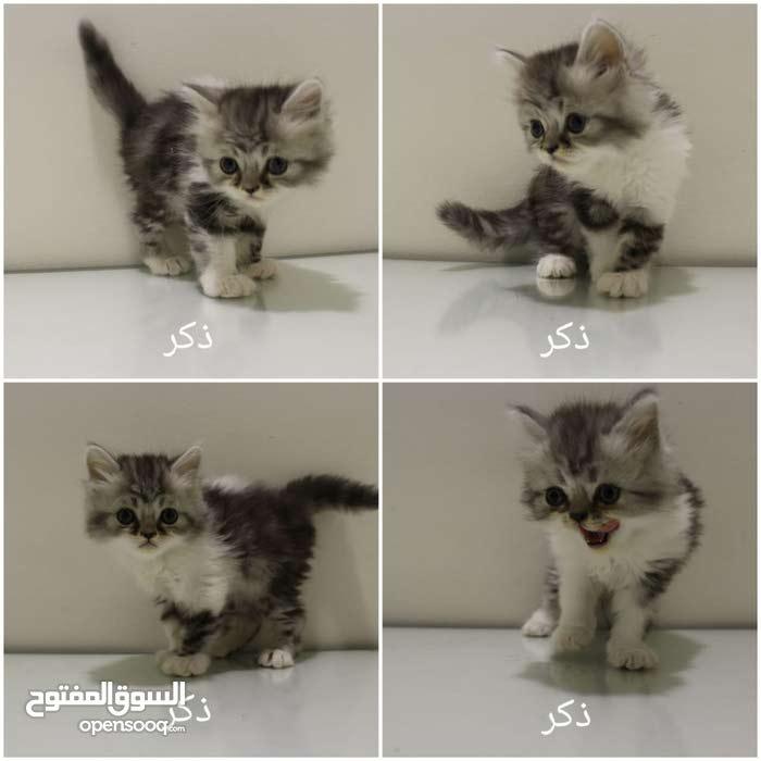 قطط ذكور وإناث هاف بيكي عمر شهرين للبيع