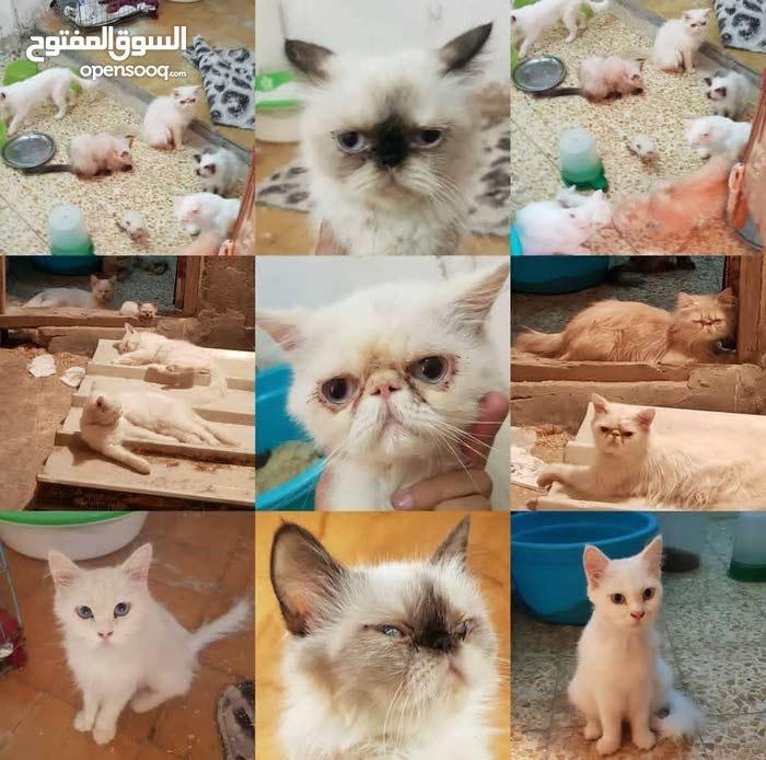 قطط للبيع عدد 8 اناث وذكور