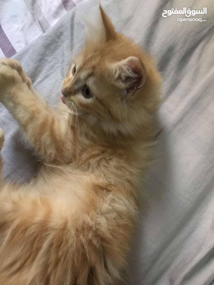 قطة للبيع لطيفه