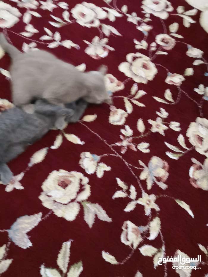 قطتين برتش شورت هير بيور