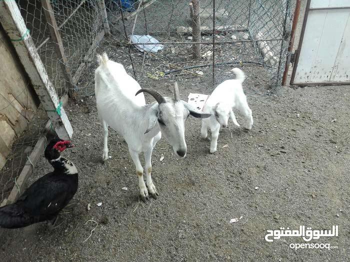 شاه صلاليه مع ولدها