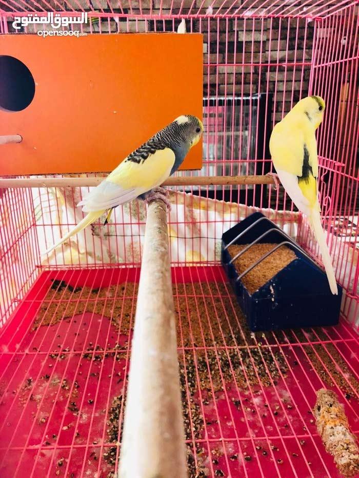 زوج طيور حب رماديات الدرجة الاولى للبيع او لمراوس